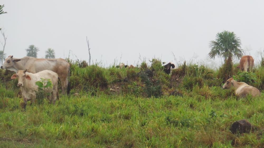 Belize Brahma Cattle